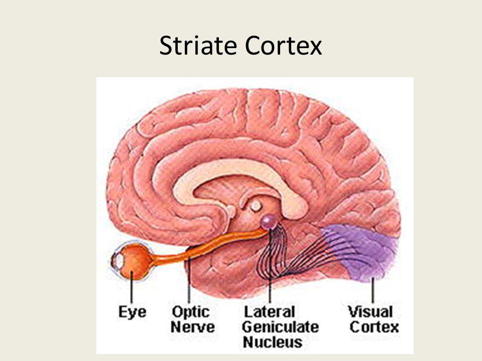Striate Cortex