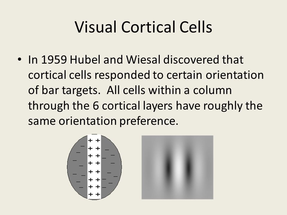 Visual Cortical Cells