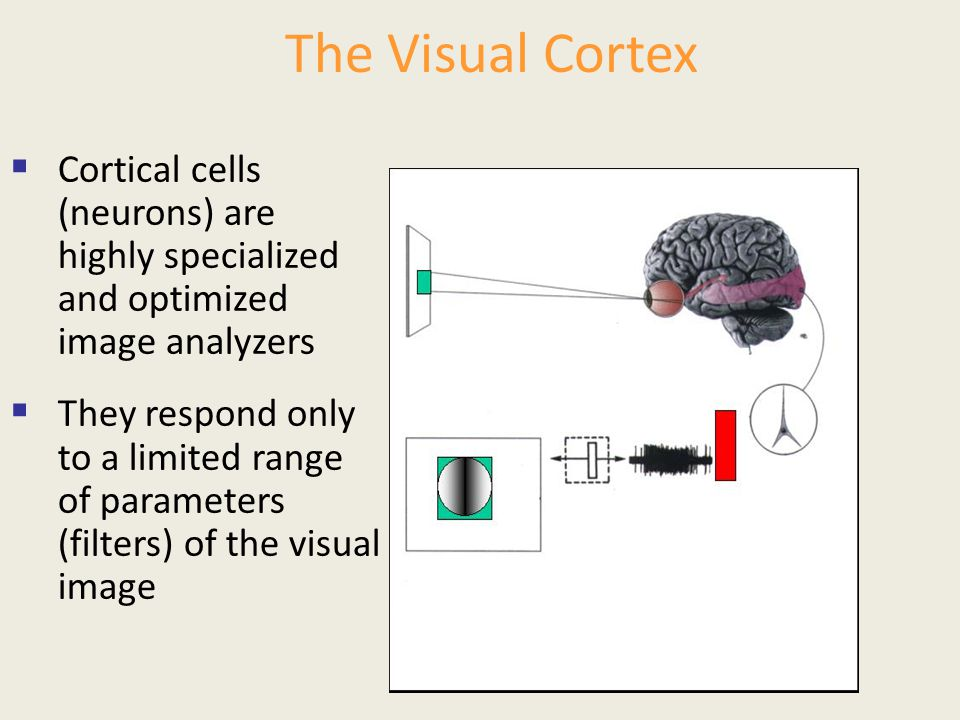 The Visual Cortex Cortical cells (neurons) are highly specialized and optimized image analyzers.
