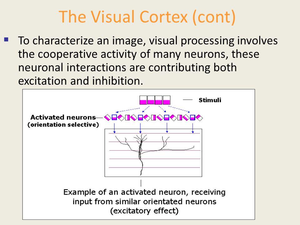 The Visual Cortex (cont)