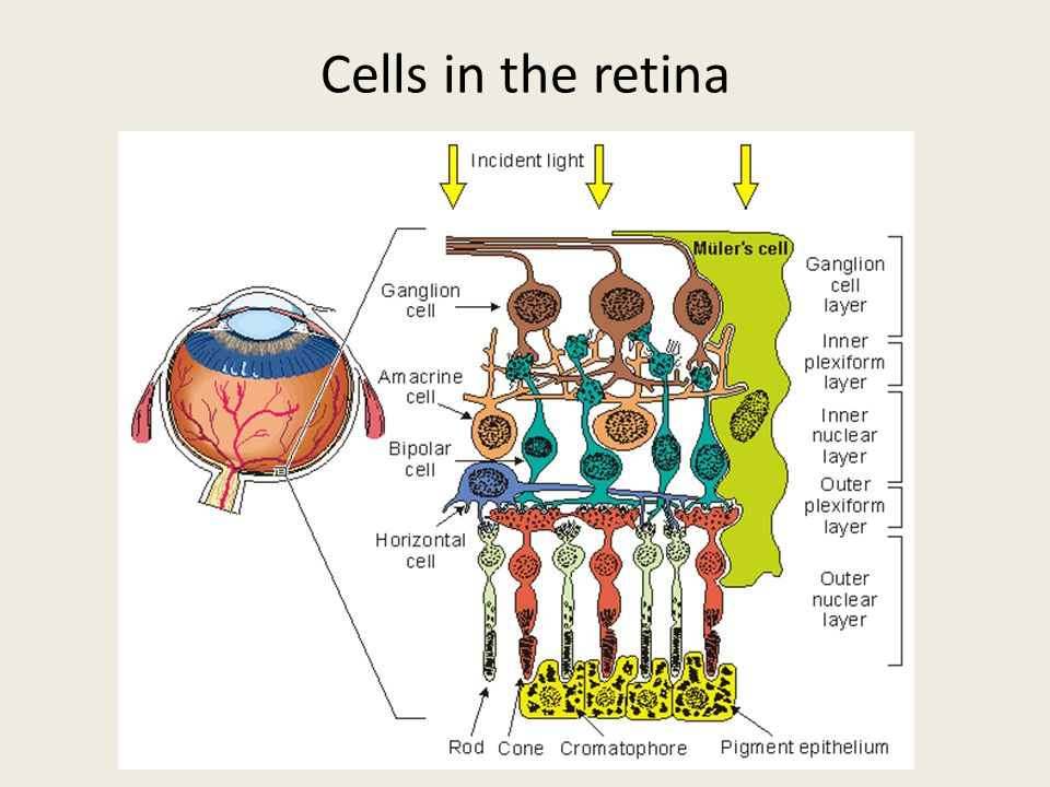 Cells in the retina