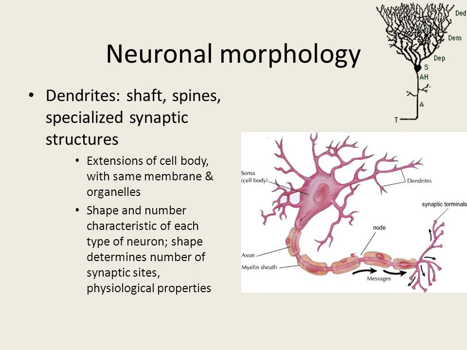 Neuronal morphology Dendrites: shaft, spines, specialized synaptic structures. Extensions of cell body, with same membrane & organelles.