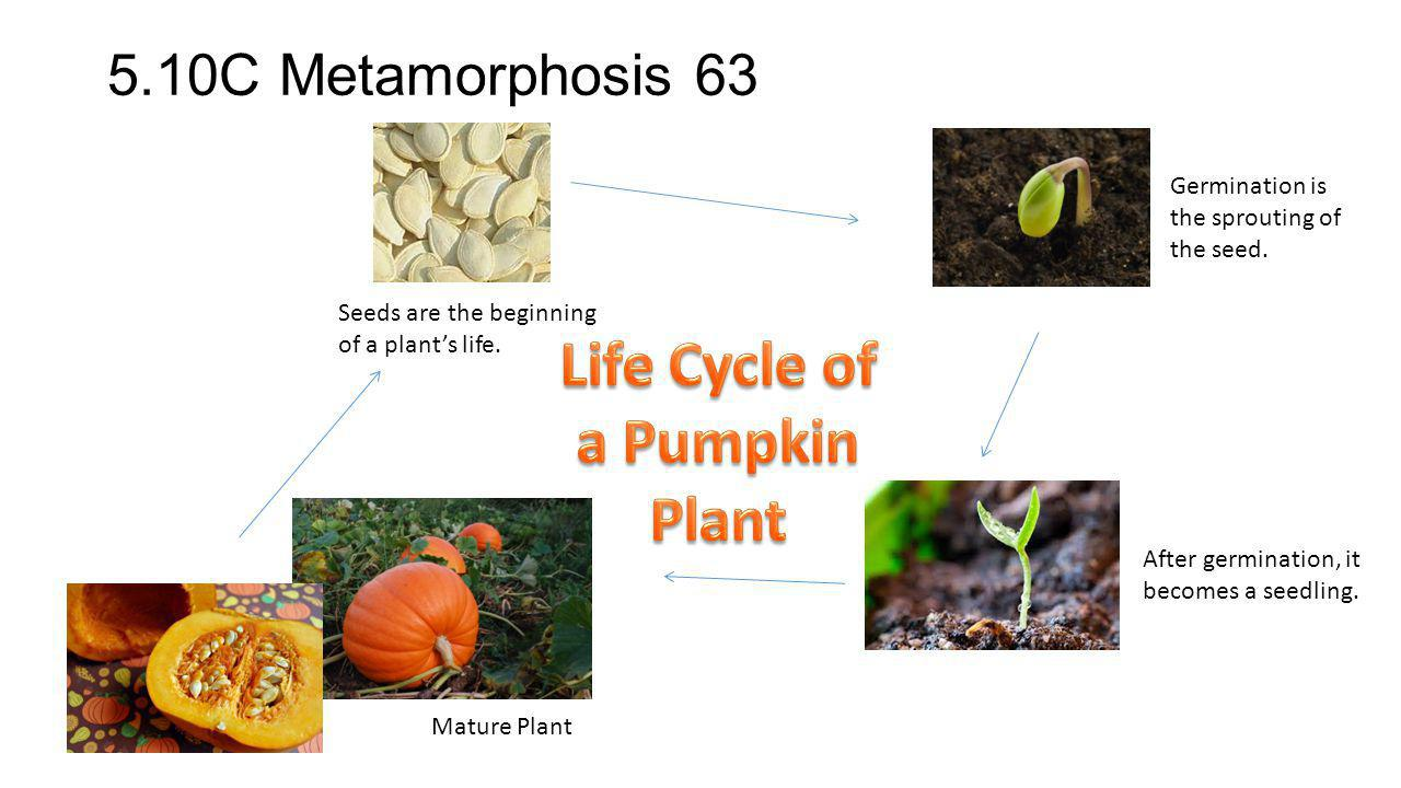 Life Cycle of a Pumpkin Plant