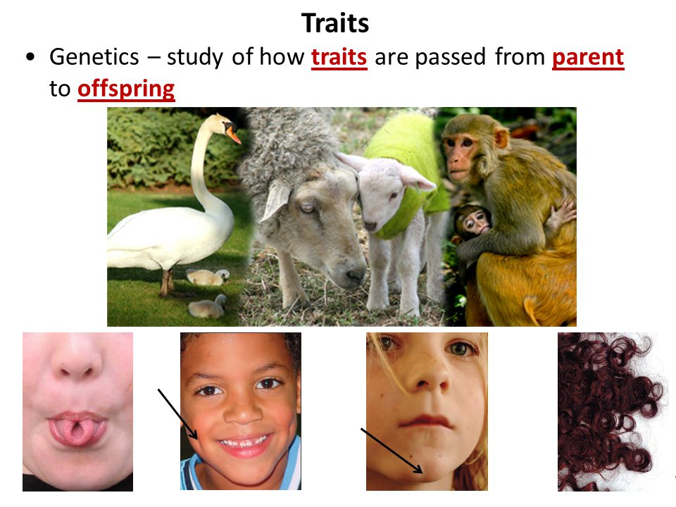 Traits Genetics – study of how traits are passed from parent to offspring