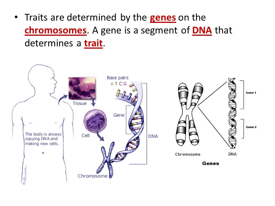 Traits are determined by the genes on the chromosomes