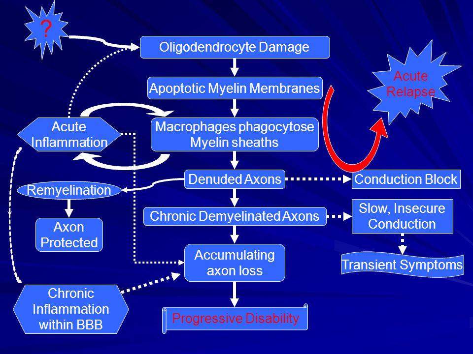 Oligodendrocyte Damage Acute Relapse Apoptotic Myelin Membranes
