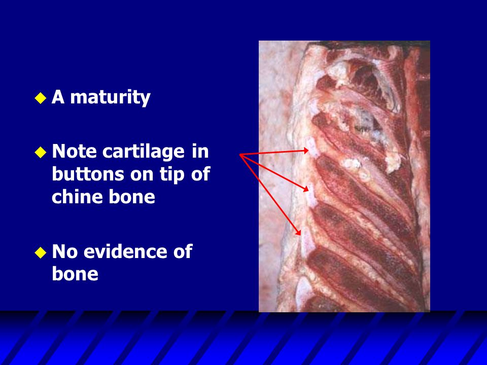A maturity Note cartilage in buttons on tip of chine bone No evidence of bone