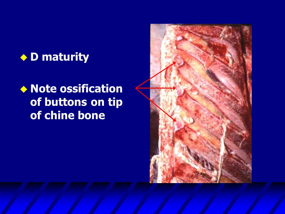 D maturity Note ossification of buttons on tip of chine bone
