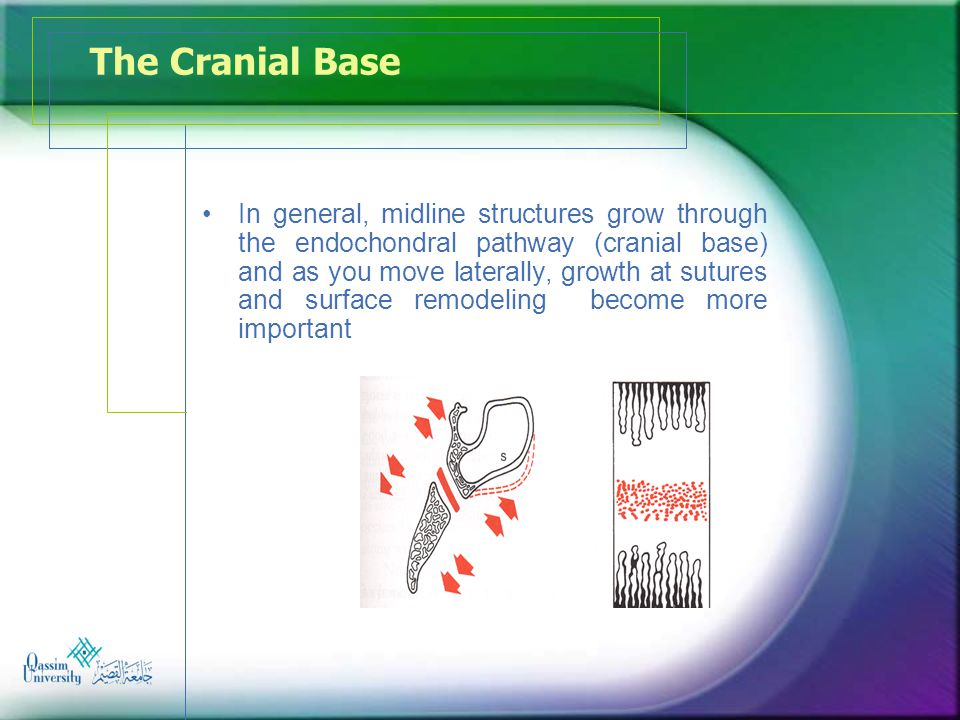 The Cranial Base