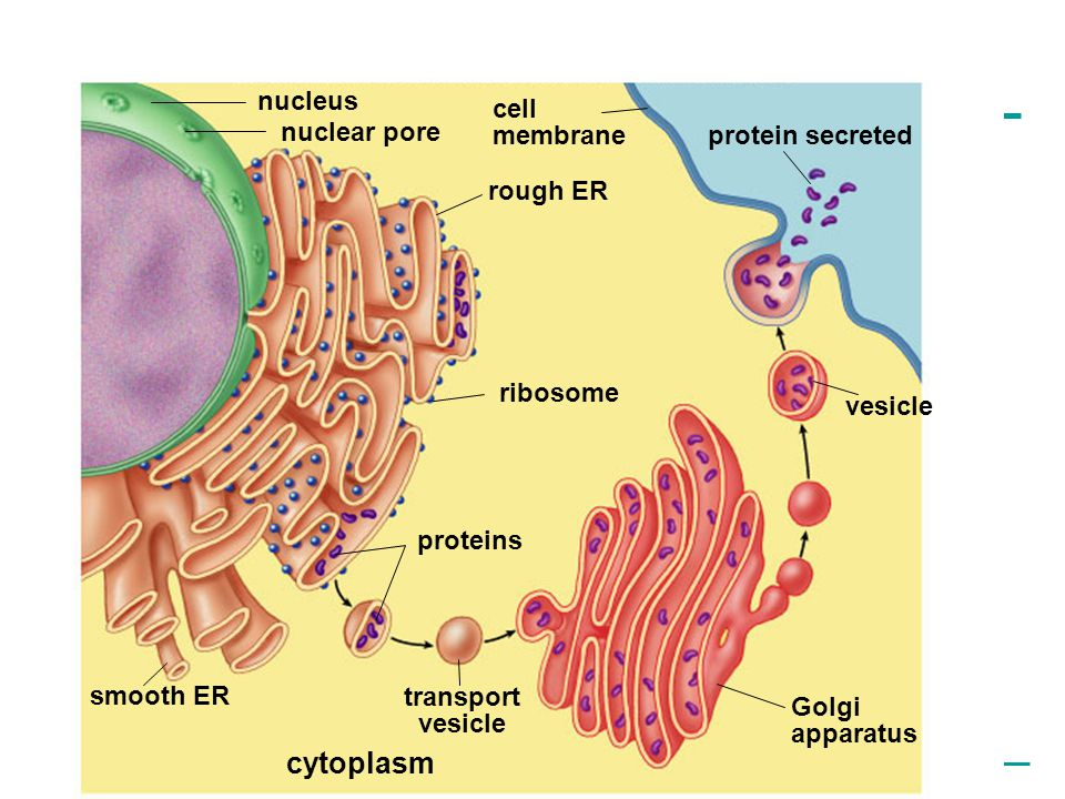 cytoplasm nucleus cell membrane nuclear pore protein secreted rough ER