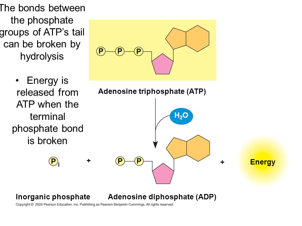 Energy is released from ATP when the terminal phosphate bond is broken