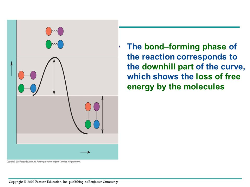 The bond–forming phase of the reaction corresponds to the downhill part of the curve, which shows the loss of free energy by the molecules