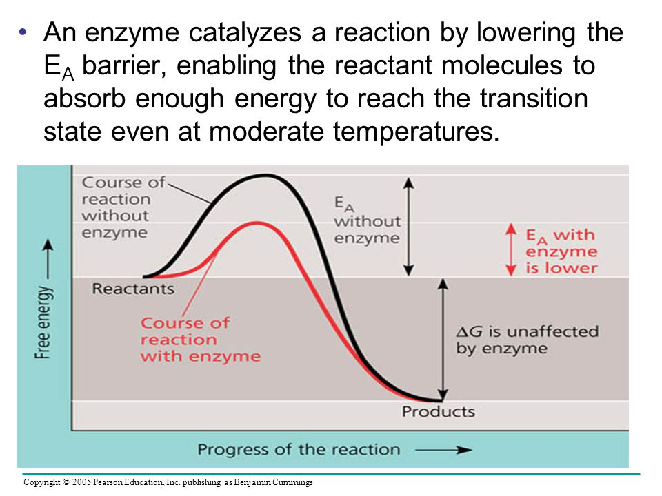 An enzyme catalyzes a reaction by lowering the EA barrier, enabling the reactant molecules to absorb enough energy to reach the transition state even at moderate temperatures.