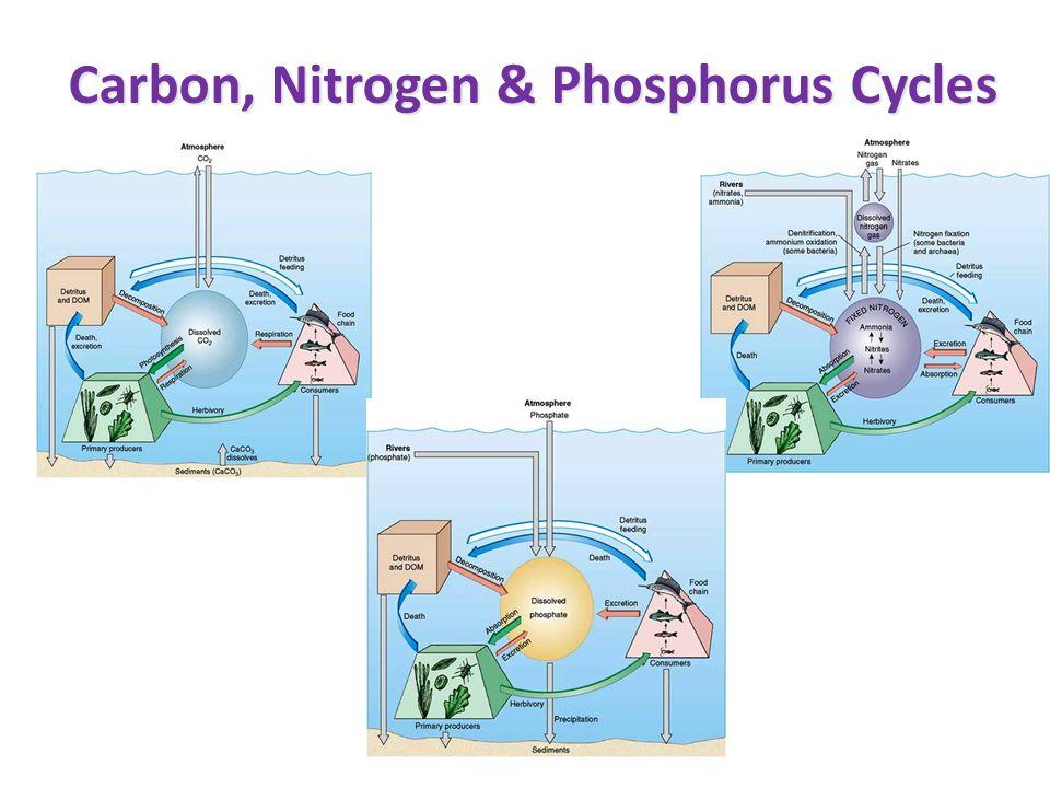 carbon phosphorus and nitrogen cycles essay