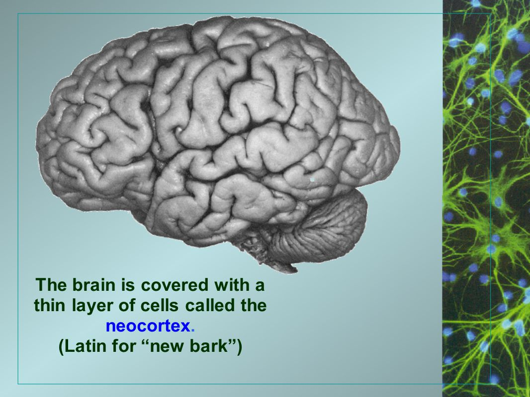 The brain is covered with a thin layer of cells called the neocortex.