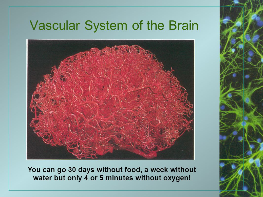Vascular System of the Brain