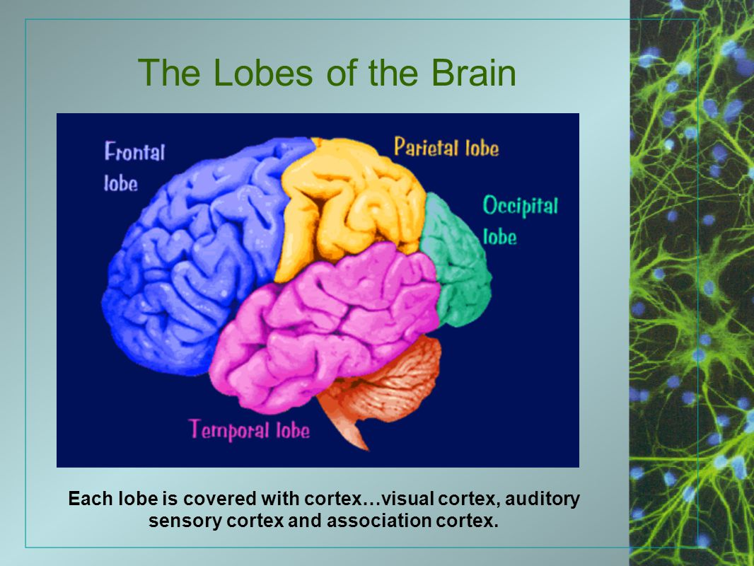 The Lobes of the Brain Each lobe is covered with cortex…visual cortex, auditory sensory cortex and association cortex.