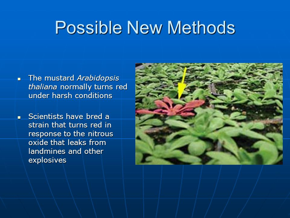 Possible New Methods The mustard Arabidopsis thaliana normally turns red under harsh conditions.