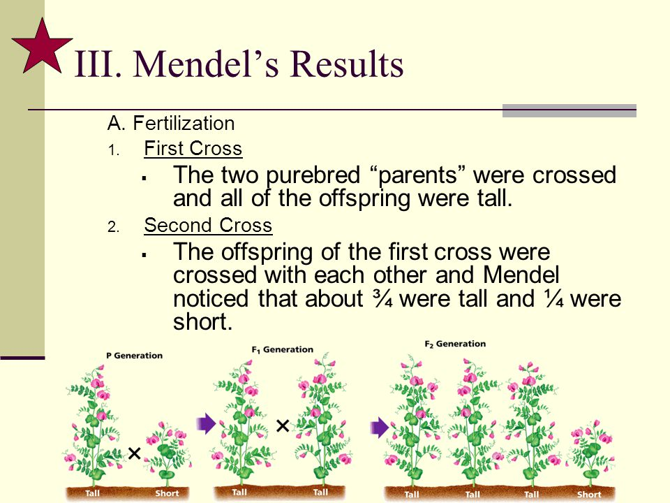 III. Mendel's Results A. Fertilization. First Cross. The two purebred parents were crossed and all of the offspring were tall.