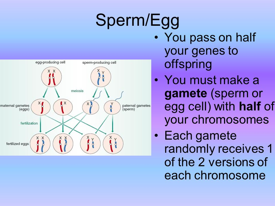 Sperm/Egg You pass on half your genes to offspring