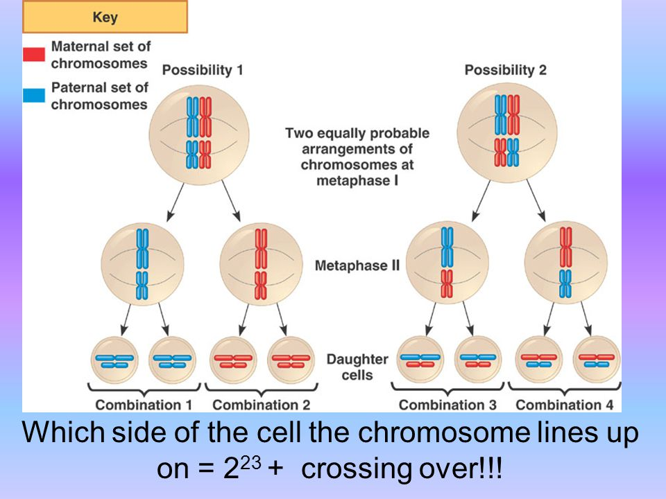 Which side of the cell the chromosome lines up on = 223 + crossing over!!!