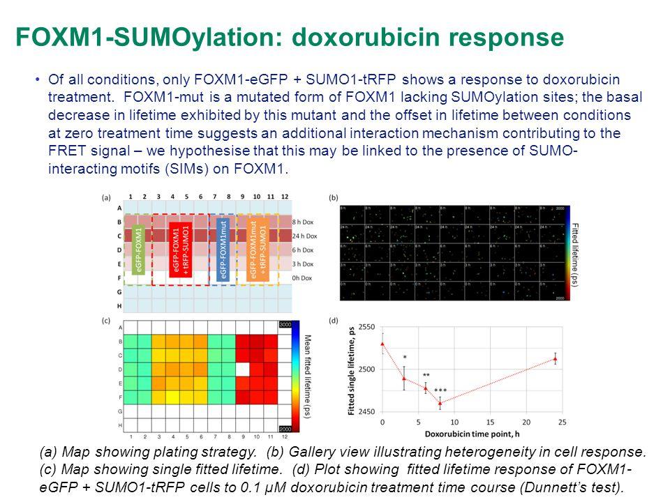 FOXM1-SUMOylation: doxorubicin response