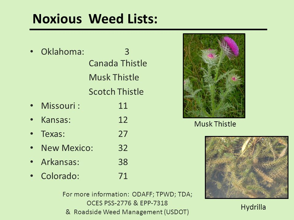 Noxious Weed Lists: Oklahoma: 3 Canada Thistle Musk Thistle