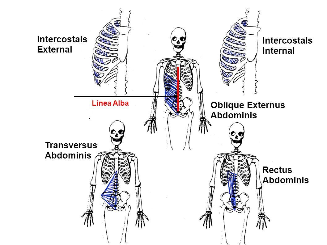 Intercostals Intercostals External Internal Oblique Externus Abdominis