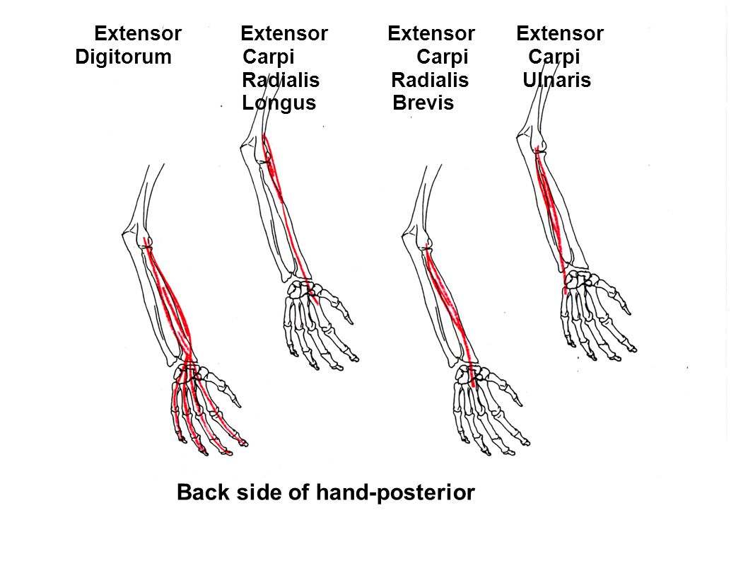 Back side of hand-posterior