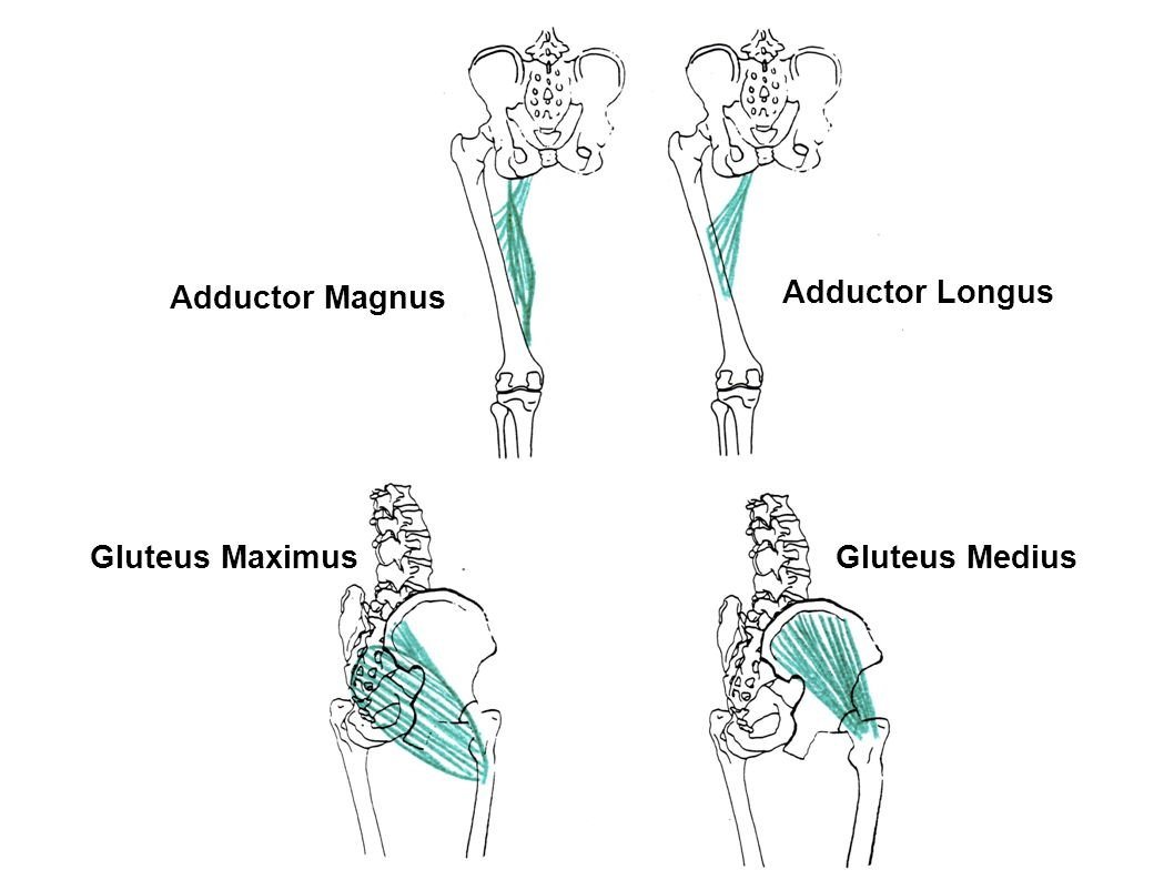 Adductor Magnus Adductor Longus Gluteus Maximus Gluteus Medius