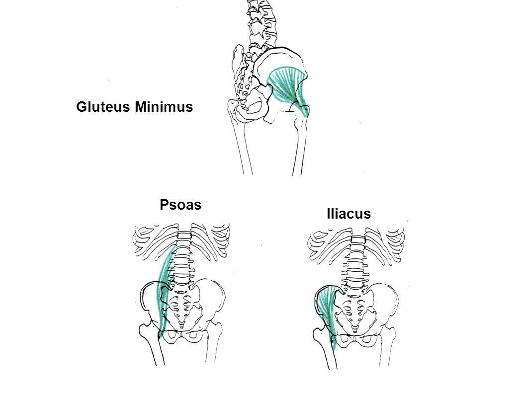 Gluteus Minimus Psoas Iliacus