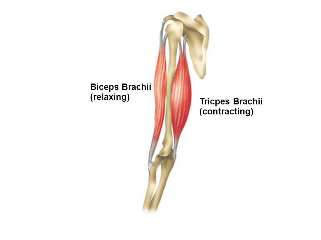 Biceps Brachii (relaxing) Tricpes Brachii (contracting)