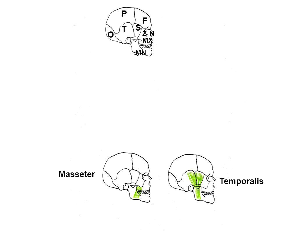 P F T S O Z N MX MN Masseter Temporalis