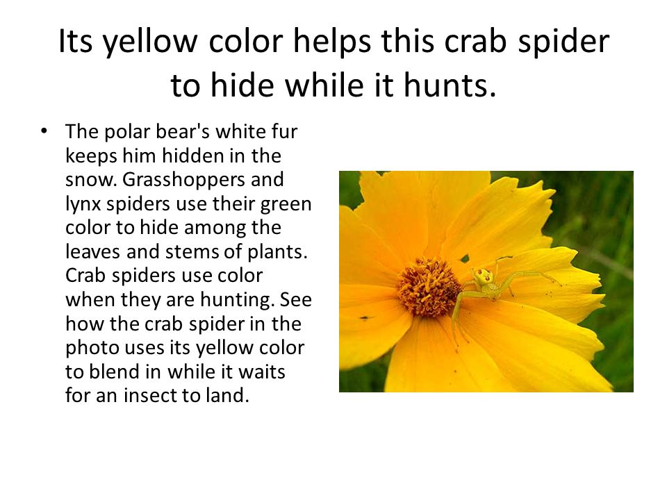 Its yellow color helps this crab spider to hide while it hunts.