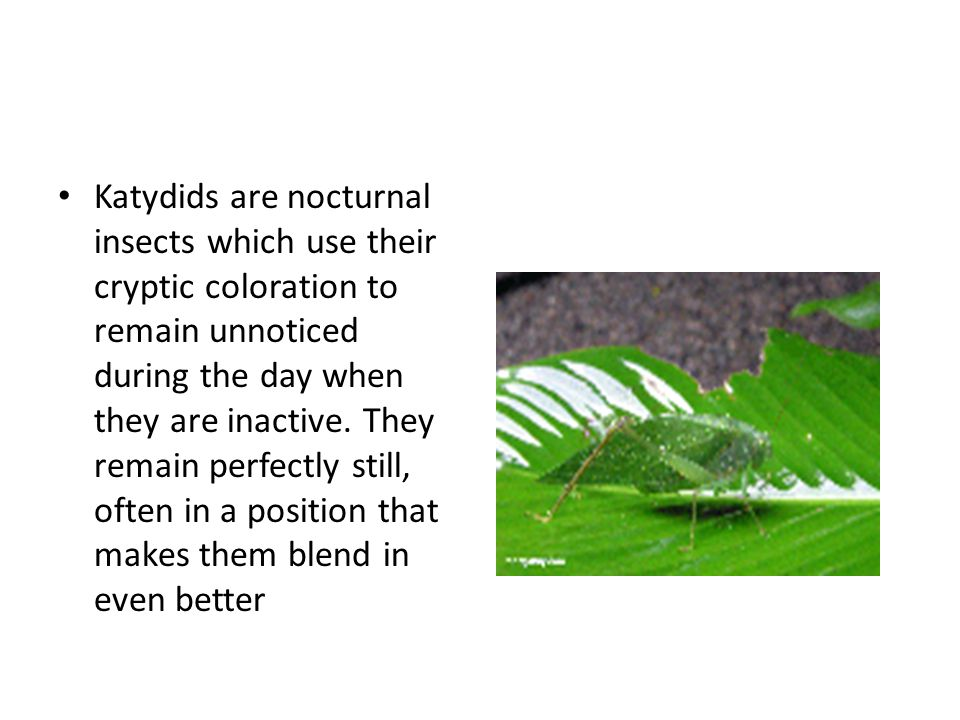 Katydids are nocturnal insects which use their cryptic coloration to remain unnoticed during the day when they are inactive.