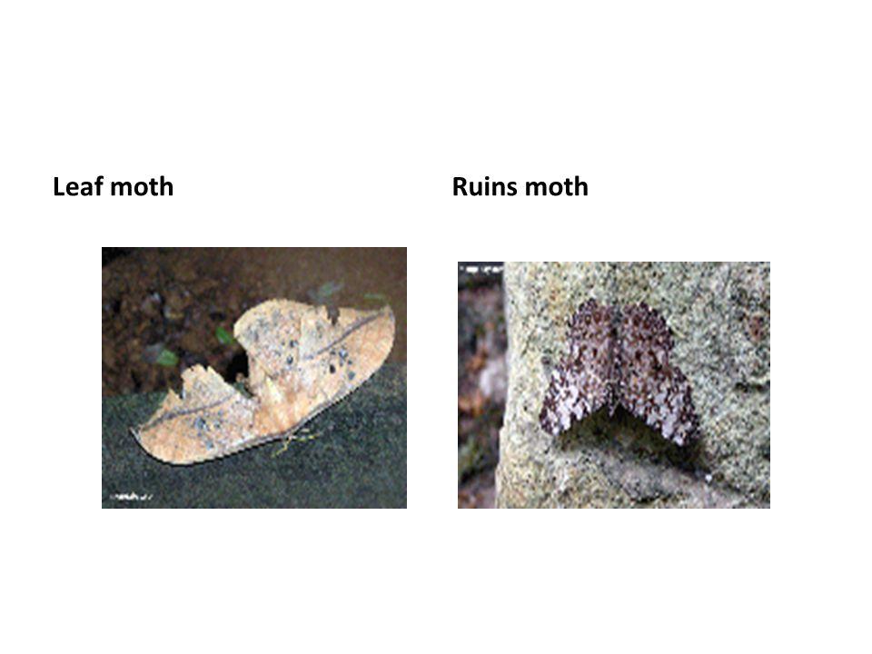 Leaf moth Ruins moth