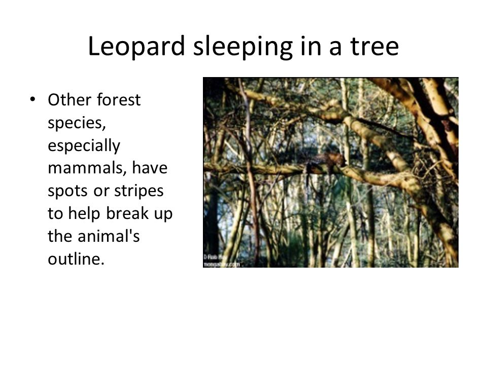 Leopard sleeping in a tree