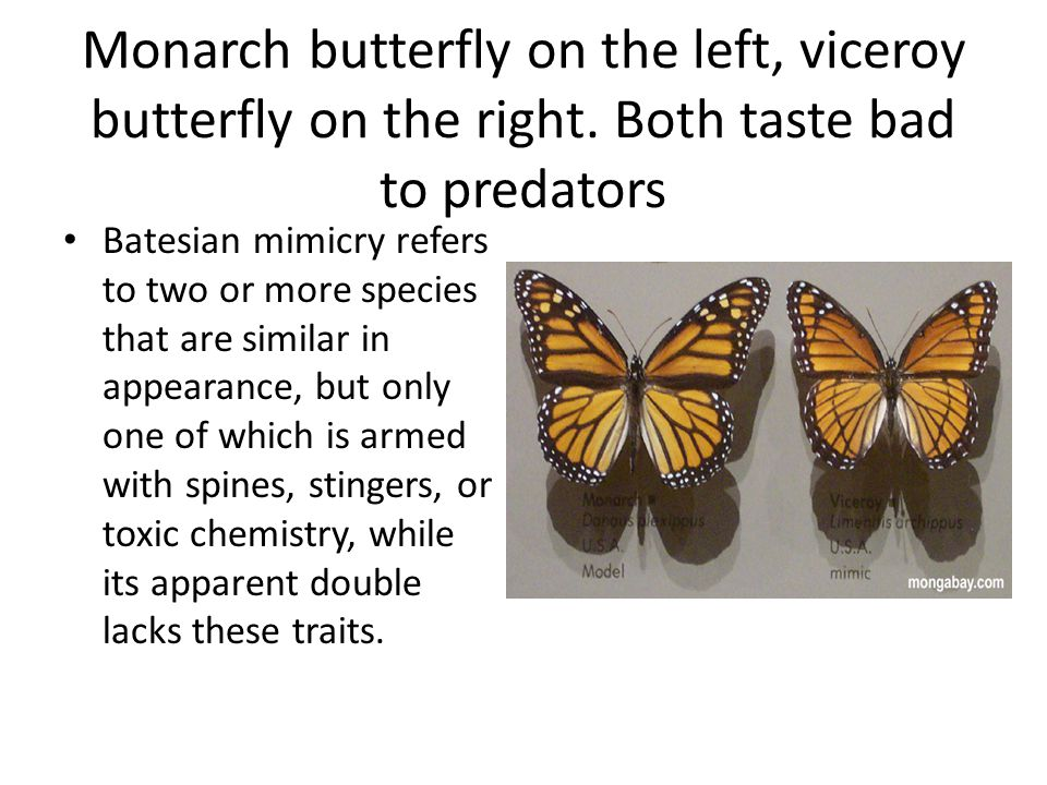 Monarch butterfly on the left, viceroy butterfly on the right