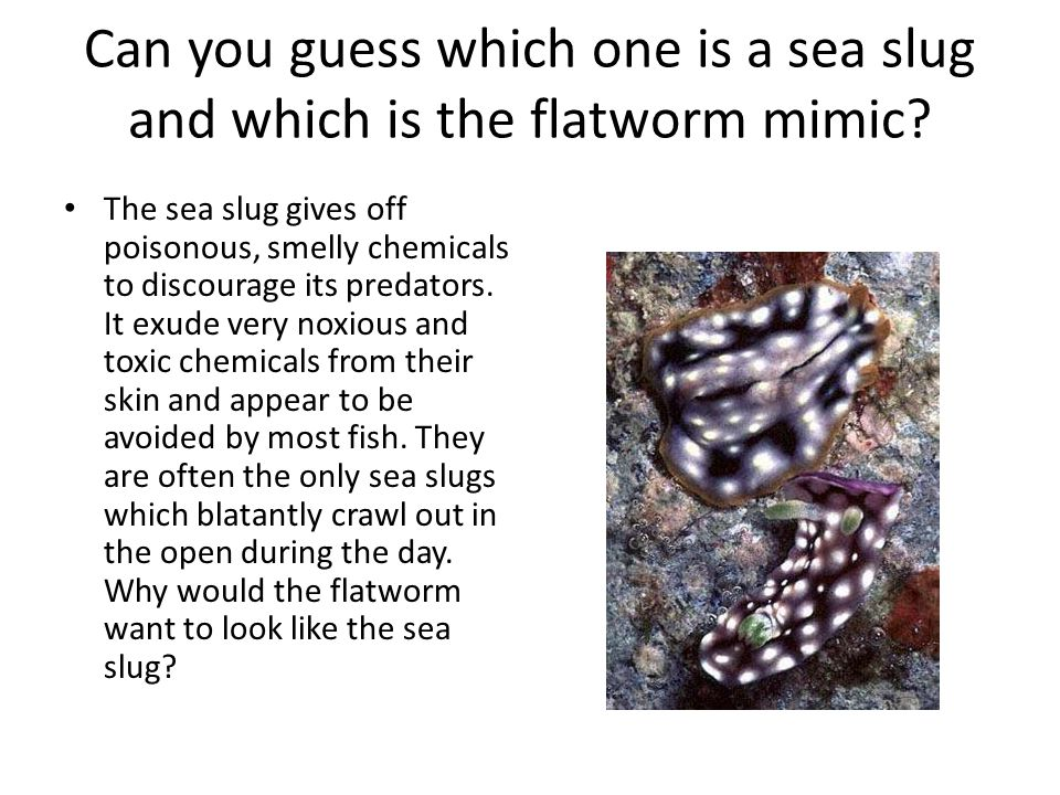 Can you guess which one is a sea slug and which is the flatworm mimic