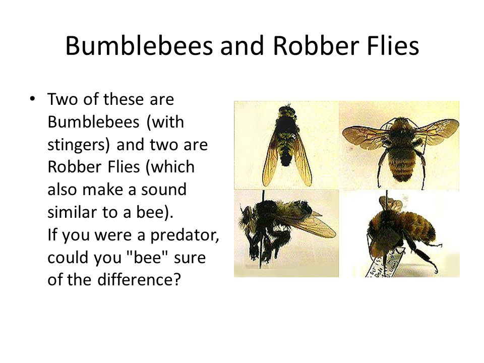 Bumblebees and Robber Flies