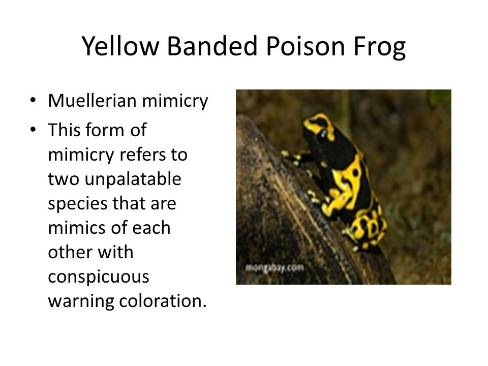 Yellow Banded Poison Frog