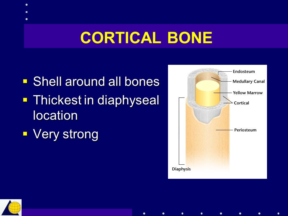 CORTICAL BONE Shell around all bones Thickest in diaphyseal location