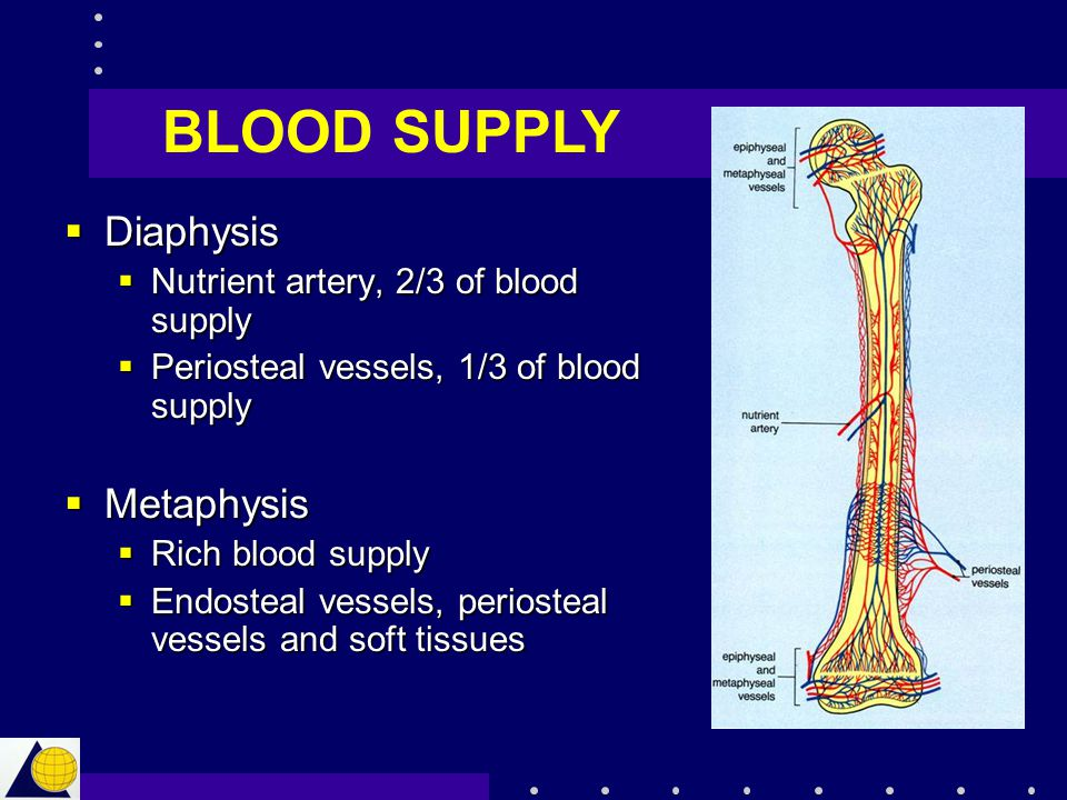 BLOOD SUPPLY Diaphysis Metaphysis Nutrient artery, 2/3 of blood supply