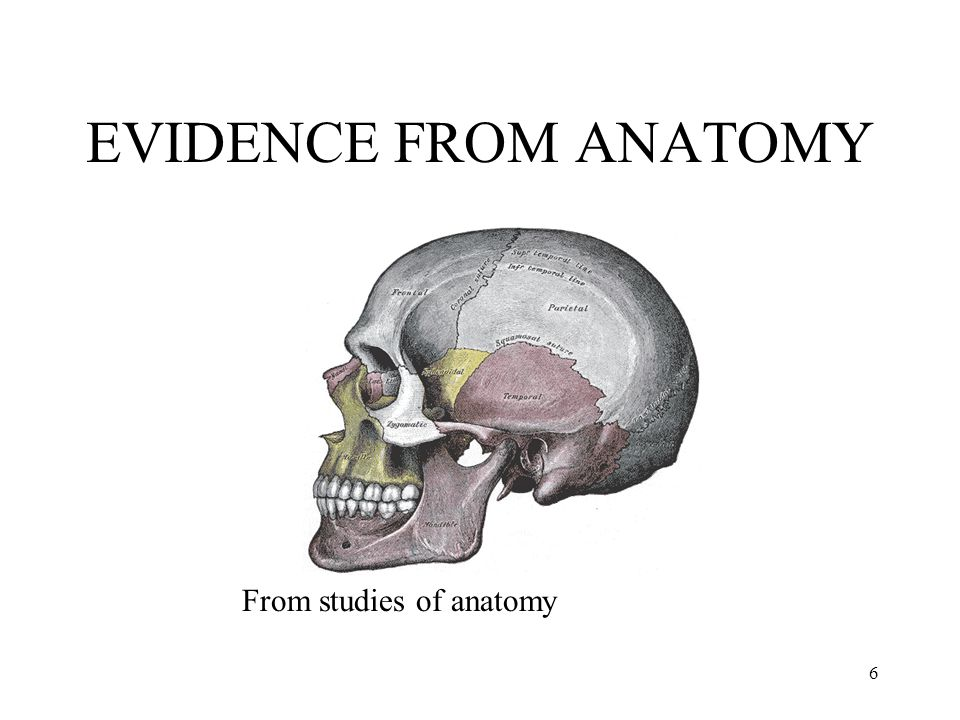 EVIDENCE FROM ANATOMY From studies of anatomy