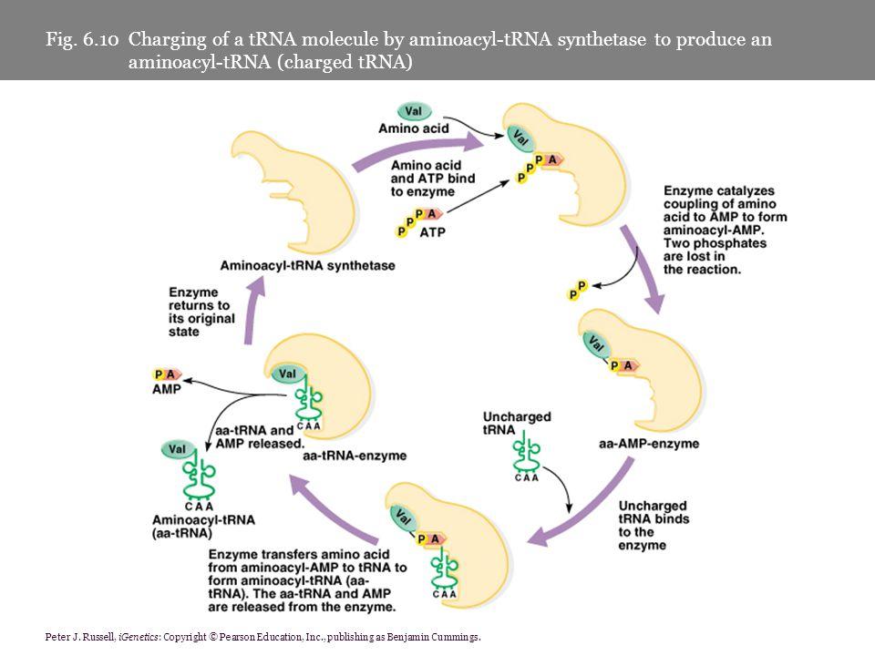 Fig. 6.10 Charging of a tRNA molecule by aminoacyl-tRNA synthetase to produce an aminoacyl-tRNA (charged tRNA)
