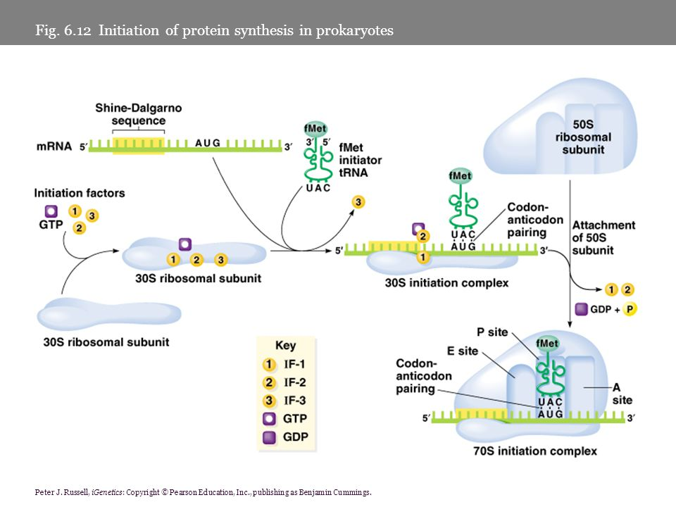Fig. 6.12 Initiation of protein synthesis in prokaryotes