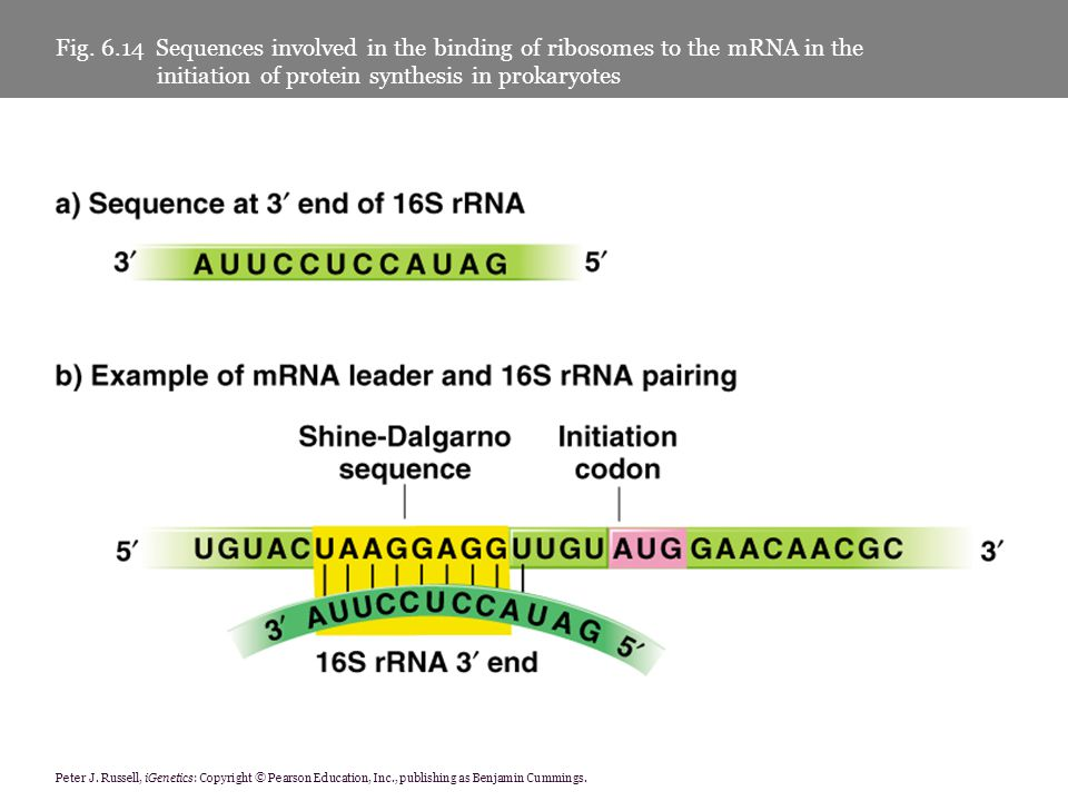Fig. 6.14 Sequences involved in the binding of ribosomes to the mRNA in the initiation of protein synthesis in prokaryotes
