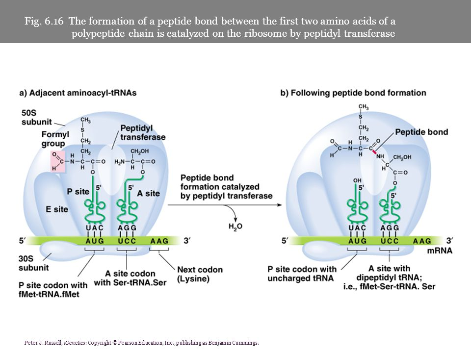 Fig. 6.16 The formation of a peptide bond between the first two amino acids of a polypeptide chain is catalyzed on the ribosome by peptidyl transferase