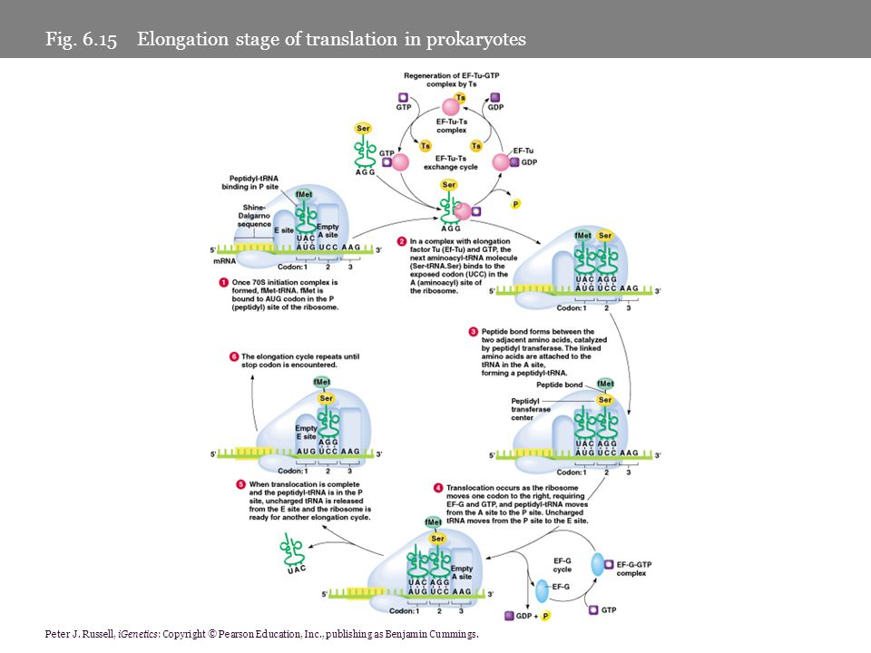 Fig Elongation stage of translation in prokaryotes