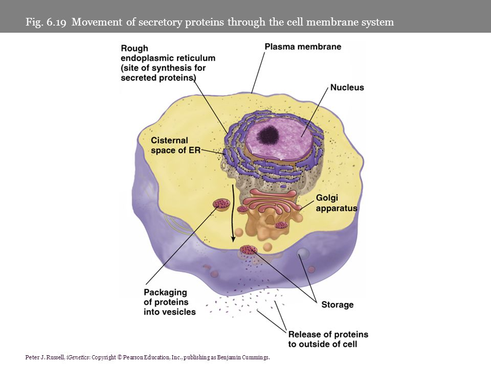 Fig Movement of secretory proteins through the cell membrane system
